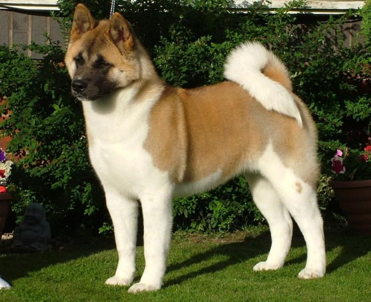 Akita Protection Dog