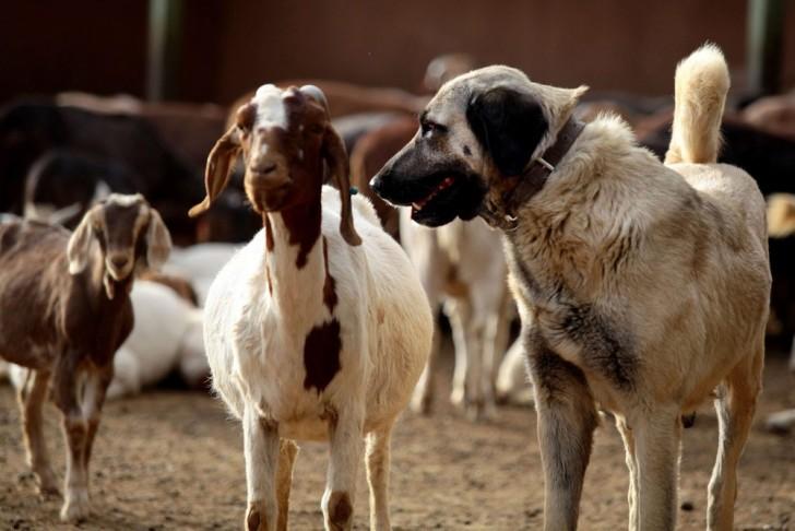 Livestock Guardian Anatolian Shepherd