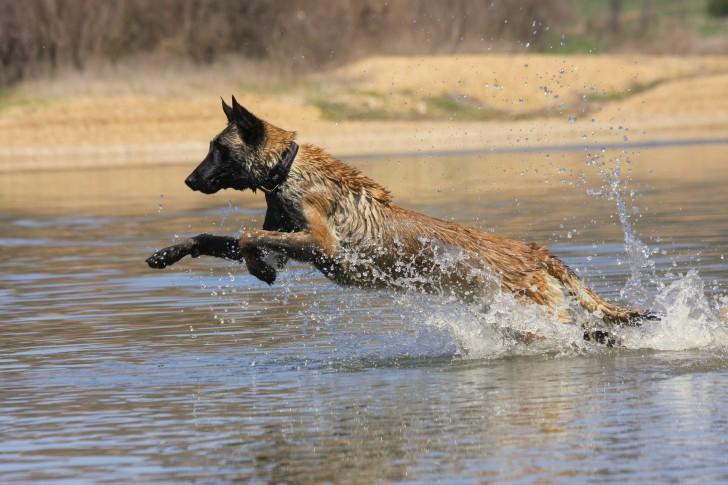 Protection Dog Belgian Malinois