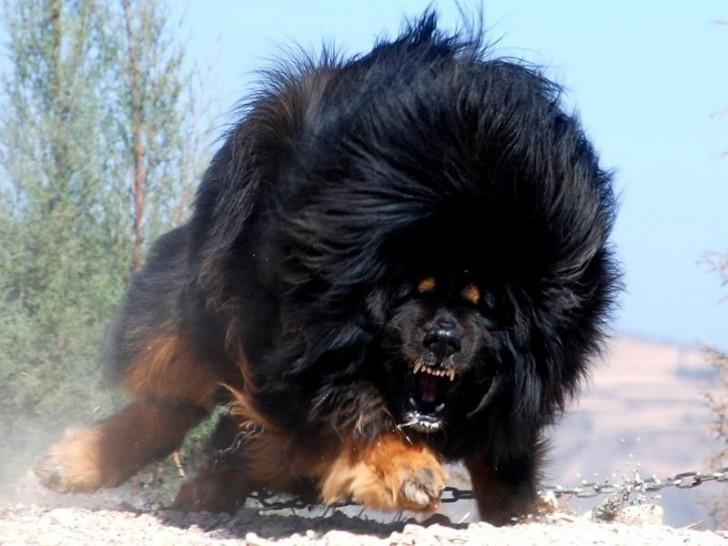 Tibetan Mastiff Guard Dog