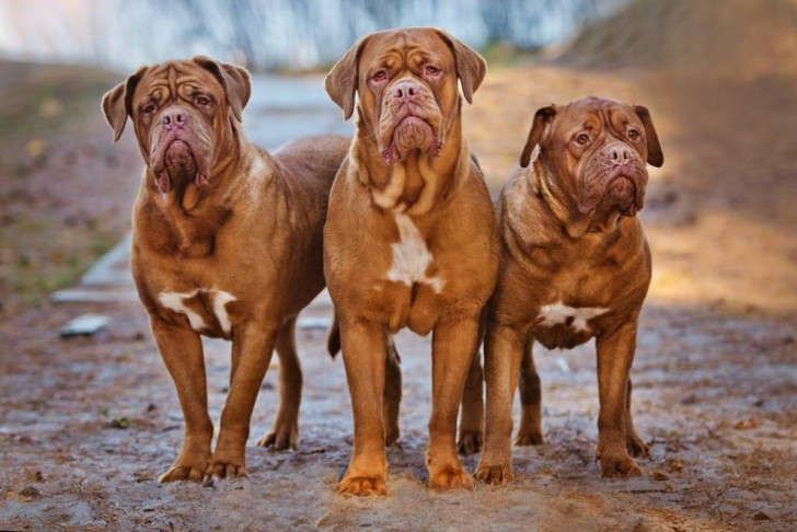 The 11 Best Guard Dogs for Personal Protection