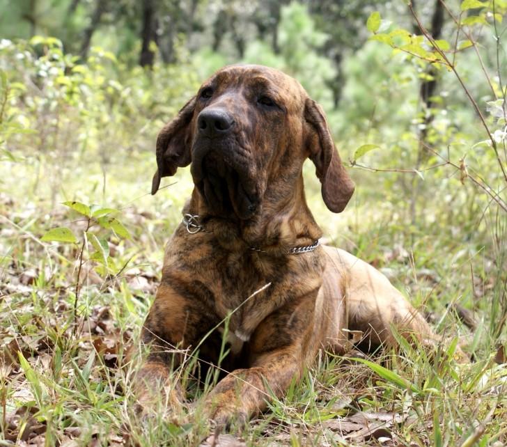 Fila Brasileiro Protection Dog
