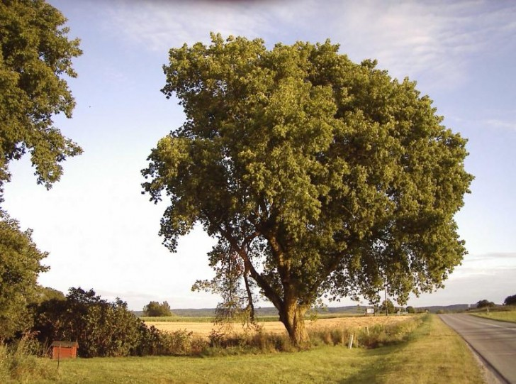Box Elder Tree