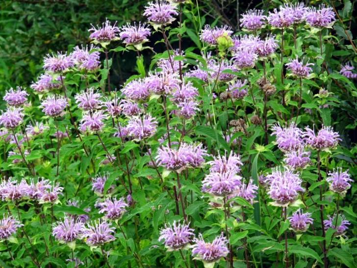 wild Plants Edible Bee Balm